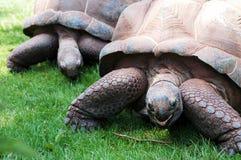 Giant Tortoises Stock Photography