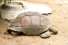 Giant tortoises Stock Photo
