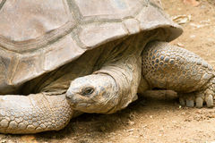 Giant tortoises Royalty Free Stock Image