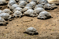 Giant tortoises in the Arnaldo Tupiza breeding center, Isabela island, Ecuador Stock Images