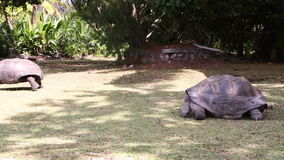 Giant tortoises at Curieuse Island, Seychelles. Two giant tortoises at Curieuse Island, Seychelles stock footage