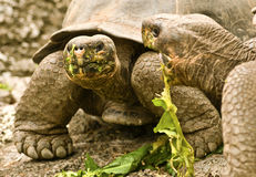 Giant Tortoises Feeding Stock Photos