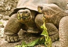 Giant Tortoises Feeding Stock Photos