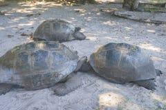 Giant Tortoise Farm beach, Seychelles. Giant tortoises are hiding from the heat on Giant Tortoise Farm on Curieuse island, Seychelles Royalty Free Stock Image