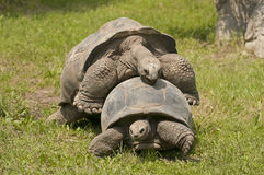 Giant tortoises Royalty Free Stock Photography