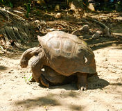 Giant tortoises mating at Seychelles Stock Image