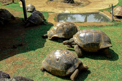 Giant tortoises in Mauritius. In a park Royalty Free Stock Image