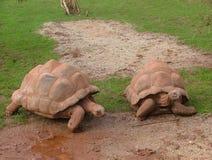 Giant tortoises. Two giant tortoises royalty free stock images