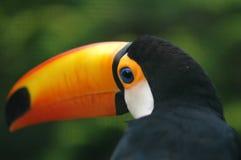Giant Toucan. Shallow DOF Stock Image