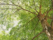 Giant Tree. Big Tree in Garden Stock Photography