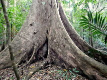 Giant tree Royalty Free Stock Photo