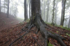 Giant tree with big roots in an enchanted beautiful forest with fog Stock Photos