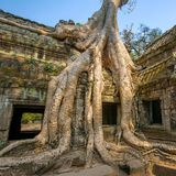 Giant tree covering stones of the ancient Ta Prohm temple Stock Photos