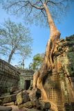 Giant tree covering stones of the ancient Ta Prohm temple Royalty Free Stock Photography