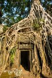 Giant tree covering stones of the ancient Ta Prohm temple Stock Photography