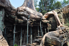 Giant tree covering the stones of Ta Prohm temple in Angkor Wat, Royalty Free Stock Photos