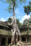Giant tree covering the stones temple of Ta Prohm Royalty Free Stock Images