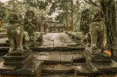 Giant tree covering Ta Prom and Angkor Wat temple, Siem Reap, Ca Stock Images