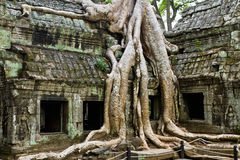 Giant tree covering Ta Prom temple Royalty Free Stock Photography