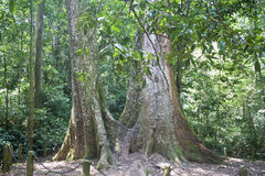 Giant tree. In Cuc Phuong National Park in Vietnam Stock Image