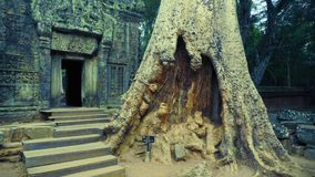 A Giant Tree at the Entrance of Ta Prohm, Angkor, Siem Reap, Cambodia stock image