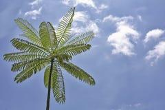 Tree Fern. Giant tree fern with blue sky royalty free stock photos