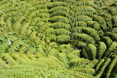 Giant Tree Fern Fronds of New Zealand Viewed from Above. Stock Photography