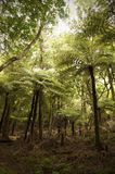 Giant tree ferns, New Zealand. Royalty Free Stock Photography