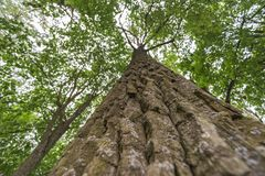 Giant tree in forest Royalty Free Stock Images