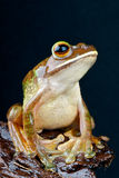 Giant Tree frog Royalty Free Stock Photo