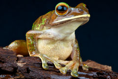 Giant Tree frog Stock Images