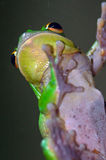 Giant tree frog Stock Photos