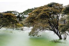 giant tree in green water swamp stock photography