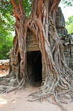 Giant tree growing over the ruins of Ta Prohm temp Stock Photo