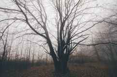 Giant tree in haunted dark forest with fog Stock Photo