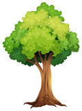 A giant tree Royalty Free Stock Image