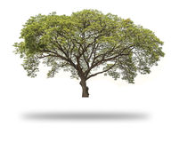 Giant Tree isolated. On white background, Giant Rain tree isolated Stock Photography