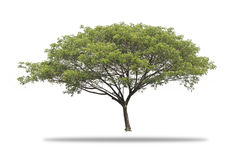 Giant Tree isolated. On white background, Giant Rain tree isolated Stock Images