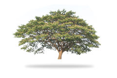 Giant Tree isolated. On white background, Giant Rain tree isolated Stock Photo