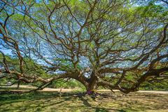Giant tree in Kanchanaburi province Royalty Free Stock Photos