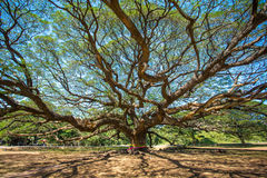 Giant tree in Kanchanaburi province Stock Photos