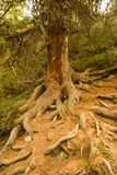 Giant tree with a large root structure Royalty Free Stock Images