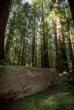 Giant tree log in a forest grove of Redwood trees in Redwood National Park California. Coast royalty free stock photo