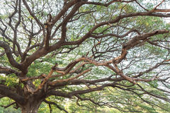 Giant tree Royalty Free Stock Image