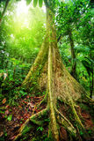Giant tree in rainforest Stock Image