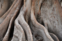 Giant tree roots Stock Images