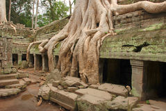 Giant tree roots, Ta Prohm temple Stock Image