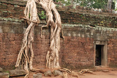 Giant tree roots, Ta Prohm temple Royalty Free Stock Photography