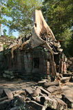 Giant tree roots at the Ta Prohm temple in Cambodi Royalty Free Stock Image