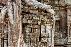 Giant tree and roots in temple Ta Prom Angkor wat Royalty Free Stock Photo